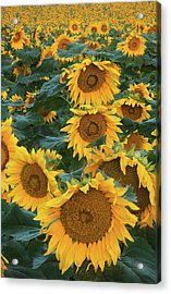 Sunflowers Acrylic Print by Steve Gadomski
