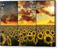 Sunflowers Triptych Acrylic Print