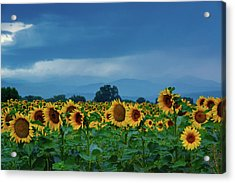 Sunflowers Under A Stormy Sky Acrylic Print