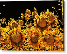 Sunflowers Up Front And Personal Acrylic Print