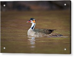 Sungrebe Heliornis Fulica Swimming Acrylic Print by Panoramic Images