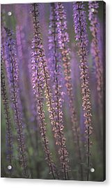 Sunlight On Lavender Acrylic Print