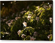 Sunlight Filtering Through The Trees Onto The Daisies. Acrylic Print