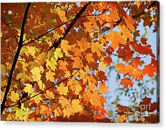 Acrylic Print featuring the photograph Sunlight In Maple Tree by Elena Elisseeva