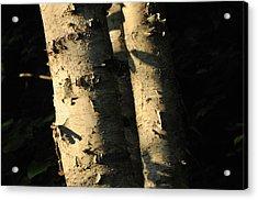 Sunlit Birch Acrylic Print