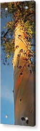Sunlit Eucalyptus Acrylic Print by Jean Booth