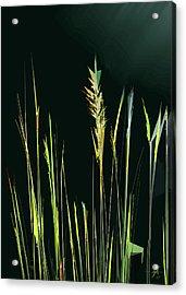 Sunlit Grasses Acrylic Print
