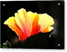 Acrylic Print featuring the photograph Sunlit Hibiscus by Diane Merkle