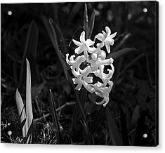 Sunlit Hyacinth Acrylic Print