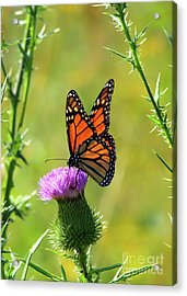 Sunlit Monarch  Acrylic Print
