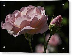 Sunlit Pink Beauty Acrylic Print