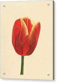 Sunlit Tulip Acrylic Print