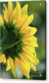 Sunlite Sunflower Acrylic Print