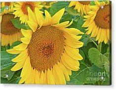 Sunloving Sunflowers Acrylic Print