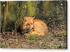 Sunning Fox Acrylic Print