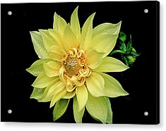 Acrylic Print featuring the photograph Sunny Dahlia by Julie Palencia