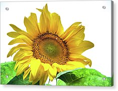 Acrylic Print featuring the photograph Sunny Flower by Jenny Rainbow