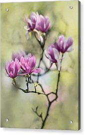 Sunny Impression With Pink Magnolias Acrylic Print