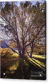 Sunny Mono Tree Acrylic Print by Norman  Andrus