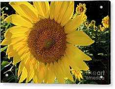 Acrylic Print featuring the photograph Sunny Side Up by Chris Scroggins