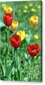 Sunny Tulips Acrylic Print