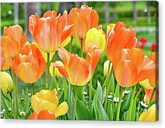 Acrylic Print featuring the photograph Sunny Tulips by David Lawson