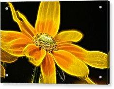 Sunrise Daisy Acrylic Print