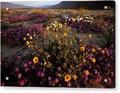 Sunrise On Desert Wildflowers Acrylic Print by Tim Laman