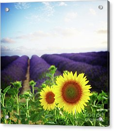 Sunrise Over Sunflower And Lavender Field Acrylic Print