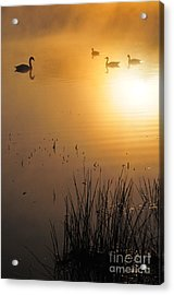 Sunrise Swim Acrylic Print by Catherine Reusch Daley