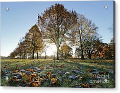 Sunrise Through Lime Trees Acrylic Print