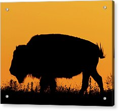 Acrylic Print featuring the photograph Sunset Bison 2 by Rob Graham