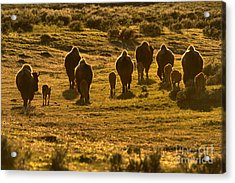 Sunset Bison Stampede Acrylic Print by Adam Jewell
