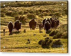 Sunset Bison Stroll Acrylic Print by Adam Jewell