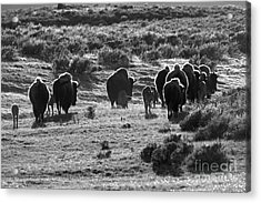 Sunset Bison Stroll Black And White Acrylic Print by Adam Jewell