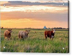 Sunset Cattle Acrylic Print
