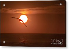 Sunset Gull No.1 Acrylic Print by Scott Evers