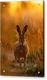 Sunset Hare Acrylic Print