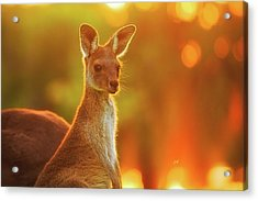 Acrylic Print featuring the photograph Sunset Joey, Yanchep National Park by Dave Catley