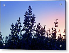 Sunrise Over Lavender Field  Acrylic Print by Art Spectrum
