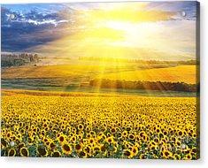 Sunset Over The Field Of Sunflowers Against A Cloudy Sky Acrylic Print by Caio Caldas
