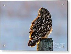 Sunset Short-eared Owl Acrylic Print