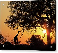 Sunset Silhouette Giraffe Eating From Tree Acrylic Print