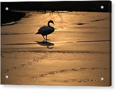 Acrylic Print featuring the photograph Sunset Swan by Richard Bryce and Family