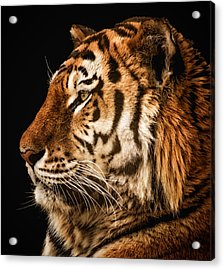 Sunset Tiger Acrylic Print