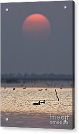 Sunset With Coots Acrylic Print