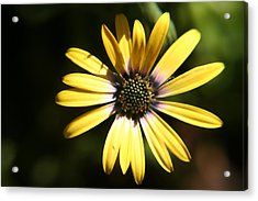 Sunshine Acrylic Print by Amy Holmes
