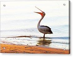 Sunshine Coast Pelican Acrylic Print