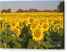 Sunshine Flower Field Acrylic Print