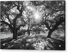 Acrylic Print featuring the photograph Sunshine Oaks by Alexander Kunz